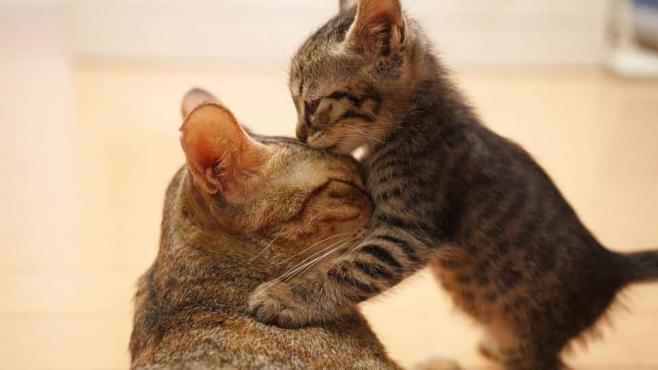 Взрослый кот не принимает котенка что делать