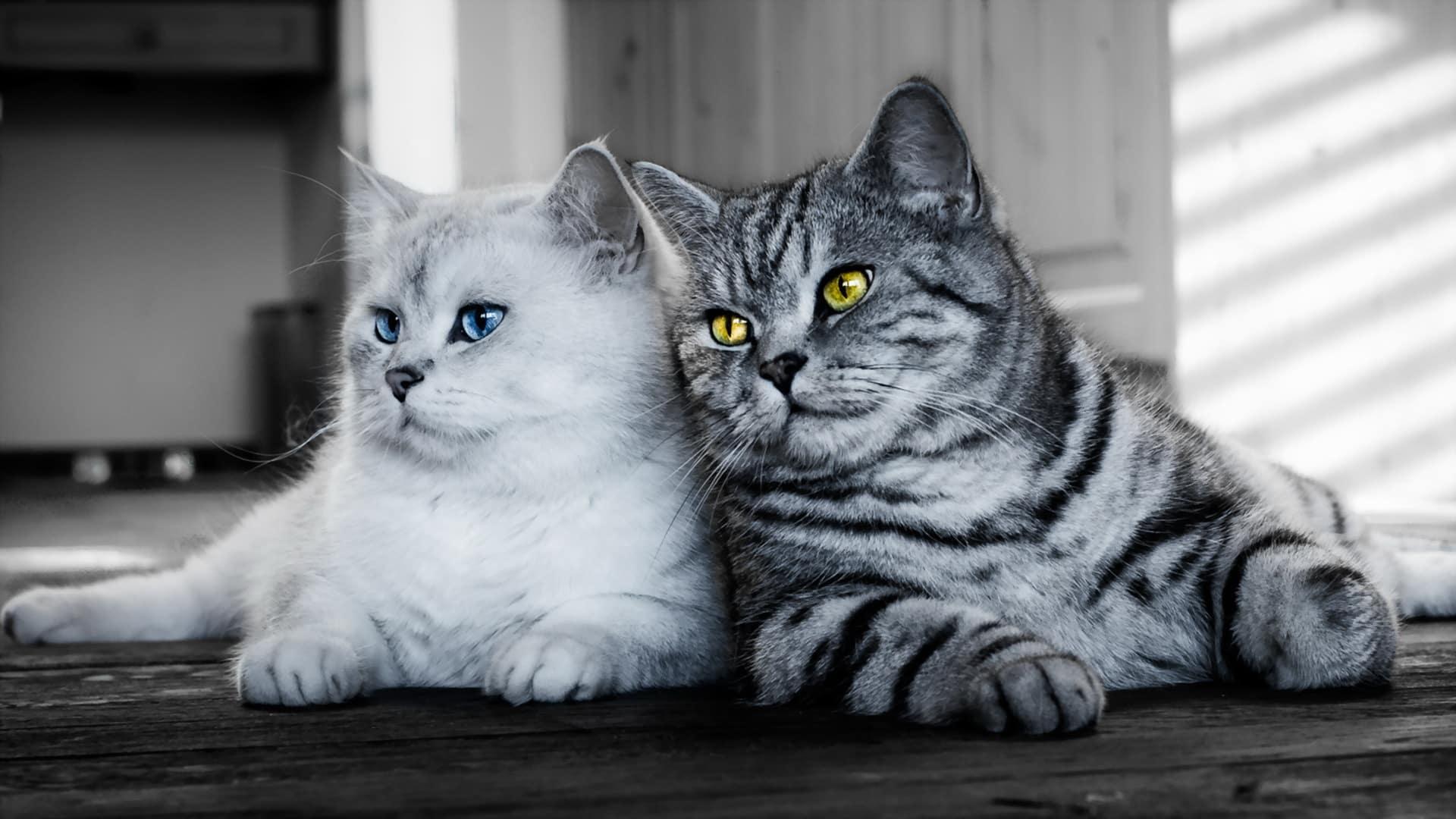 Подружатся ли кот и кошка